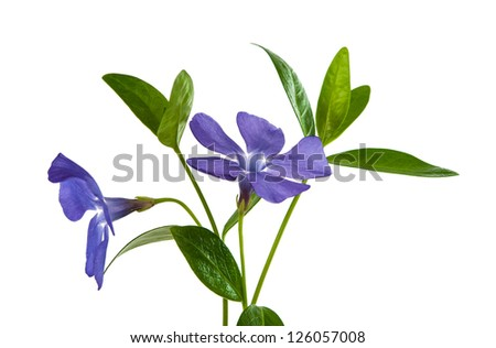 flower periwinkle isolated on white background