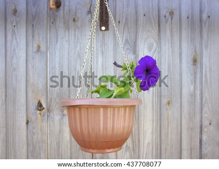 Flower Petunia in hanging pots on the wall.