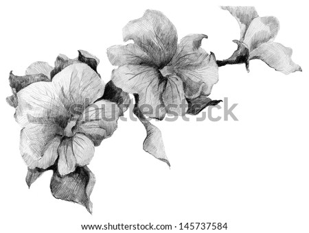 Flower Petunia  sketch  bouquet hand drawing - stock photo