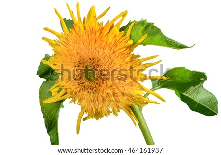 flower picture decorative sunflowers on a white background