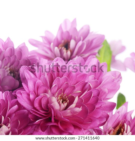 Flower pink chrysanthemums on isolated white background - stock photo
