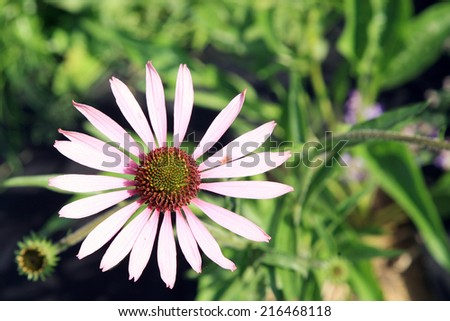 Flower pink coneflower (echinacea ) close-up with free space. - stock photo