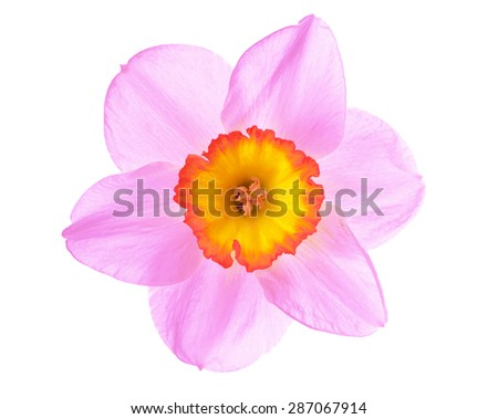 Flower pink narcissus - stock photo