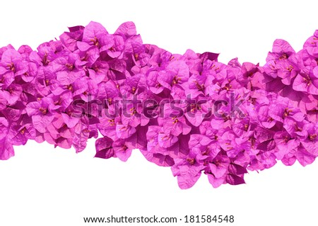 Flower purple blooming of bougainvilleas isolate on white background