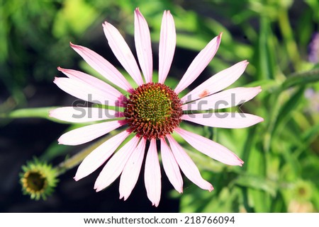 Flower purple coneflower (echinacea ) close-up with free space. - stock photo