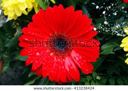 Flower red gerbera - stock photo
