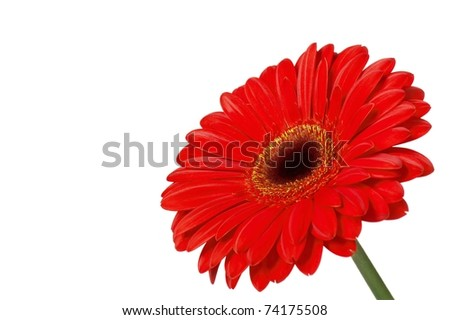 Flower red gerbera on a white background