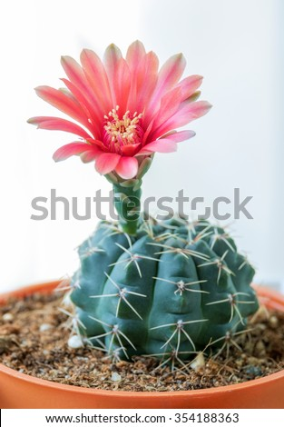 "Flower Red of Cactus "" Gymnocalycium "" in pot or houseplant"