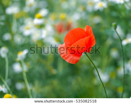 Flower - red poppy on a background of daisies