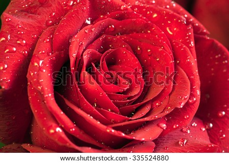 Flower red rose with water drops closeup