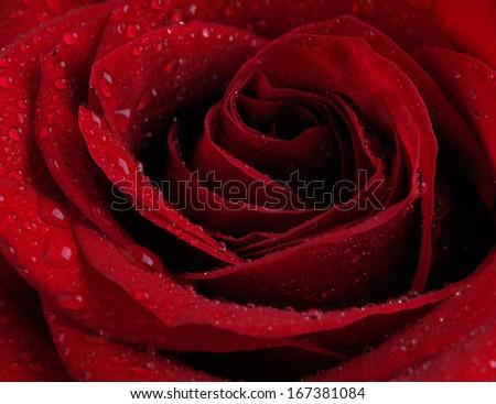 Flower rose         - stock photo