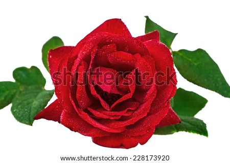 Flower rose in drops of dew, isolated on white background - stock photo