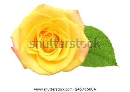 flower rose isolated on white background cutout  - stock photo