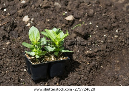 Flower Seedling and dirt for background - stock photo
