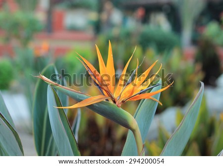 Flower Strelitzia - bird of paradise - stock photo