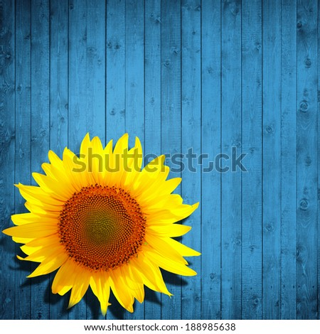 flower sunflower and light blue wood background - stock photo