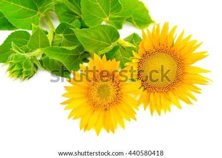 flower sunflower isolated on white background - stock photo