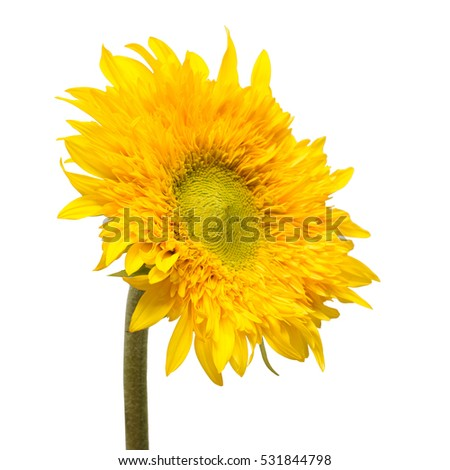 Flower. Sunflower Teddy Bear isolated on white background. Flat lay, top view