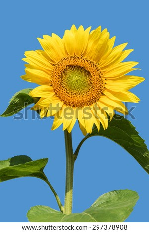 Flower sunflower with stem and leaves isolated on a blue background - stock photo