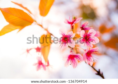flower, Thai Sakura, Cherry blossoms - stock photo