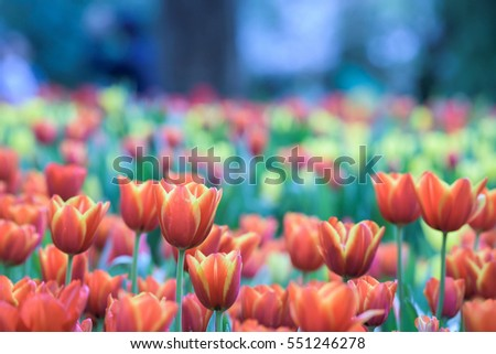 Flower Tulips Background Beautiful View Of Color