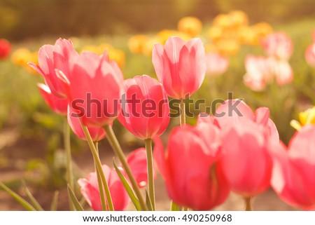 Flower Tulips Background Beautiful View Of Rose Sunlight Field