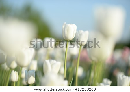 Flower tulips background. Beautiful view of white tulips with sunlight & sky. field of tulips, tulips close, tulips cute, tulips, beautiful tulips, colorful tulips green tulips petals, amazing tulips - stock photo