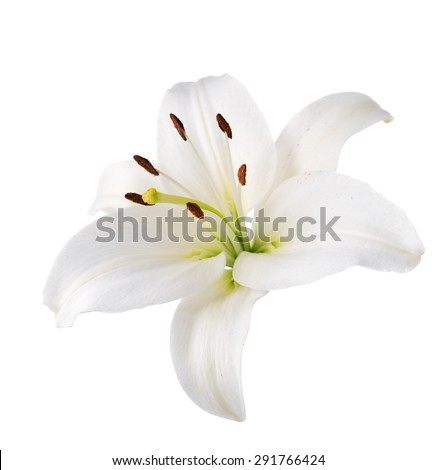 Flower white lily. Isolated.