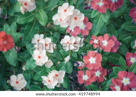 Flower white pink orange color, Naturally beautiful flowers in the garden , process in vintage style - stock photo
