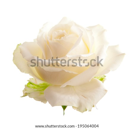Flower white roses. Isolated on white background - stock photo