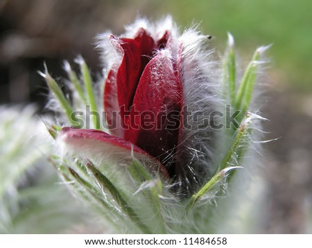 Flower with white Fur - stock photo