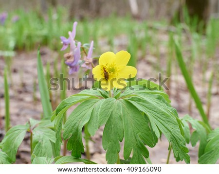 Flower  yellow buttercup . in a forest clearing in Spring.    - stock photo
