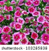 Flowerbed of Dianthus barbatus - stock photo