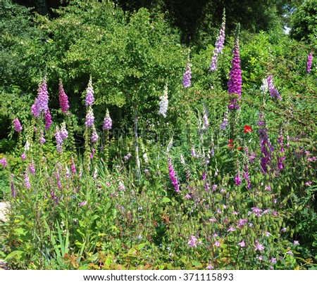 Flowerbed of Foxgloves (Digitalis purpura) in a Country Cottage Garden in the Rural Village of Dyrham near Bath, South Gloucestershire, England, UK