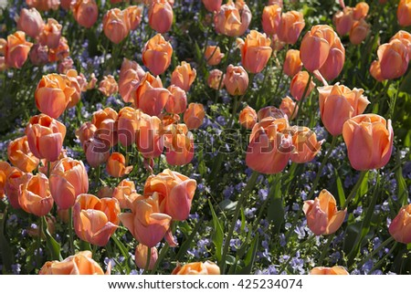 flowerbed of pink tulips - stock photo