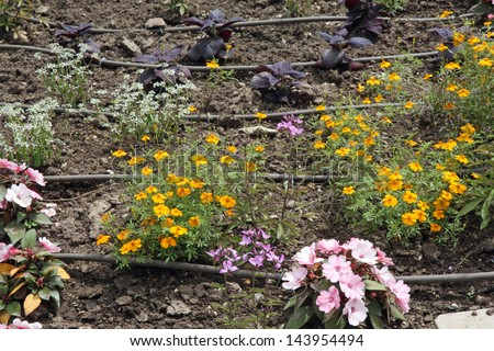 flowerbed with flowers and the automatic irrigation system with plastic pipes - stock photo