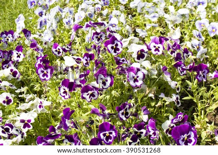 Flowerbed with many pansies (viola tricolor) of violet and white colours. - stock photo