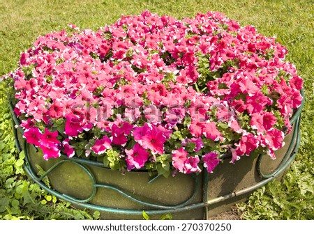 Flowerbed with many petunia of pink colour with white lines. - stock photo