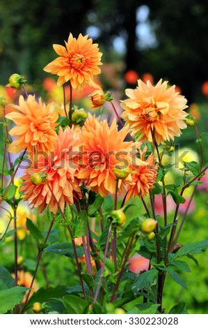Flowerbed with orange Dahlias