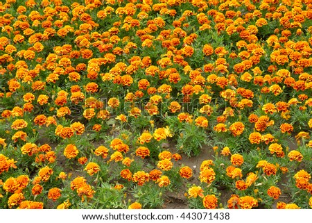 Flowerbed with orange flowers, can be used as background.