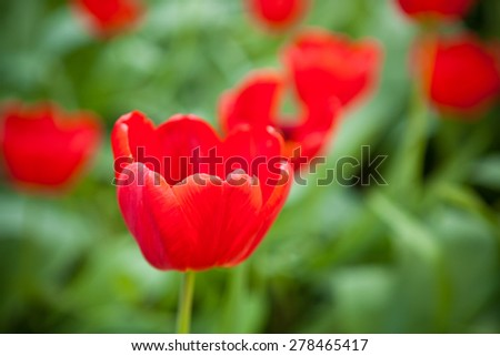 flowerbed with red tulips, shallow depth of field