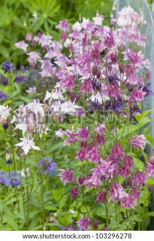 flowerbed  with various aquilegia flowers in a cottage garden. - stock photo