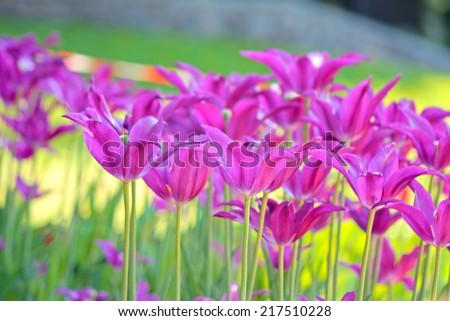 flowerbed with violet spring tulips  - stock photo