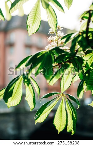 Flowered chestnut in bloom - spring is in the city - stock photo
