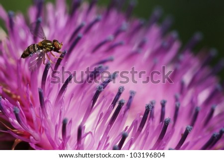 Flowerfly on Thistle - stock photo