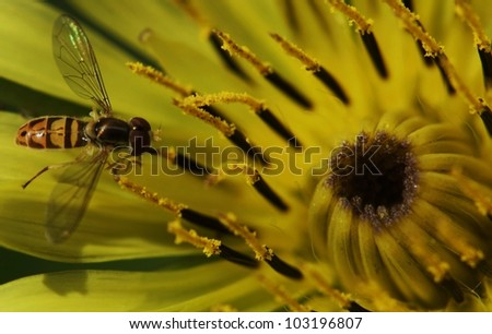 Flowerfly on Yellow Goatsbeard