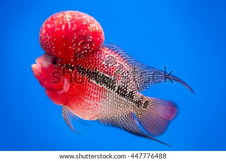 Flowerhorn Cichlid  Fish - stock photo