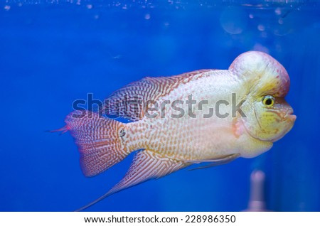 Flowerhorn Cichlid fish in the aquarium