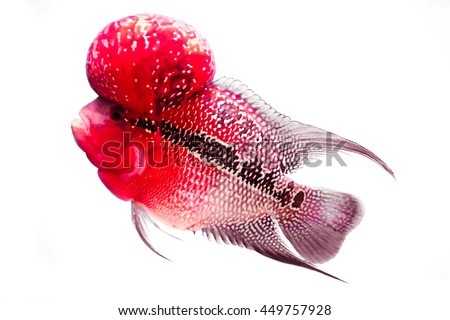 Flowerhorn Cichlid  Fish on white background - stock photo