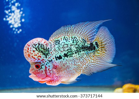 Flower horn fish stock images royalty free images for Flower horn fish